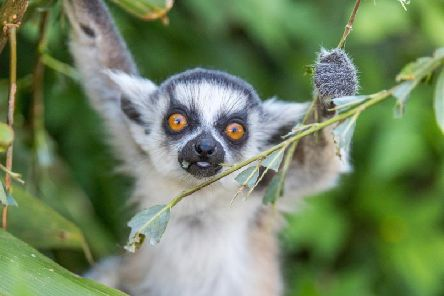 Ring tailed lemur by Bridget Davey Photography at Woburn Safari Park