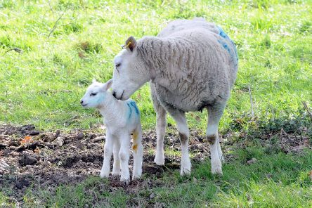 Newborn lambs in Sussex