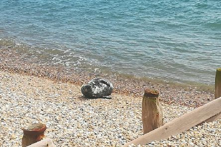 The seal resting on Selsey beach