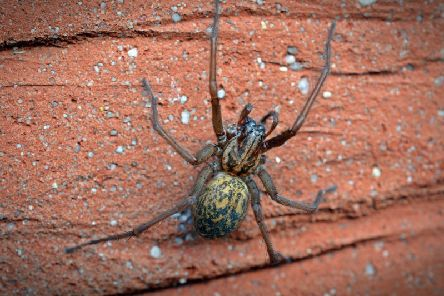 A common house spider.