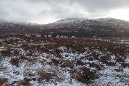 Sheep on the hill near Sliabh Sneacht in Drumfries.
