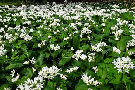 Ramson better known as wild garlic.