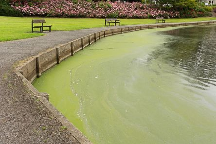 Blue green algae can contain toxins which are harmful to animals.