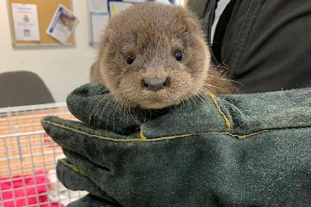 The otter found walking down a street in Inverurie
