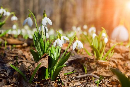 Drop into a garden near you during the Snowdrop Festival