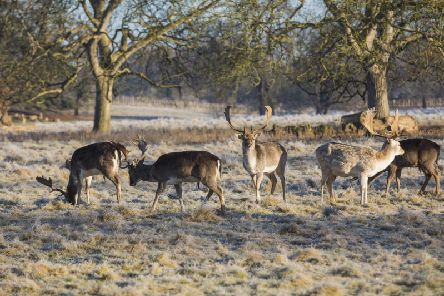 Spot fallow deer grazing on the frosty grass at Charlecote Park National Trust Images/James Dobson