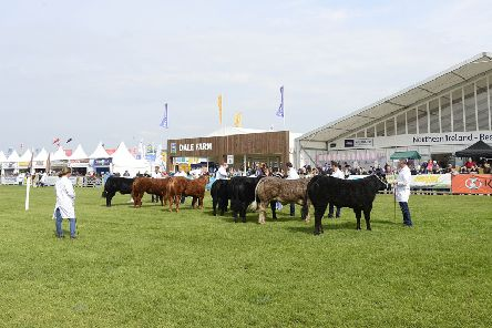 PACEMAKER BELFAST  16/05/2019:'Day two of the Balmoral Show at Balmoral Park outside Lisburn. Getting the cattle ready before the day begins at the show. 'Picture By: Arthur Allison/Pacemaker Press