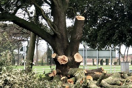 A lovely mature holm oak on the Angmering Station roundabout getting the chop...