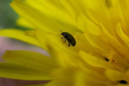 Why England has been invaded by tiny black beetles during the heatwave