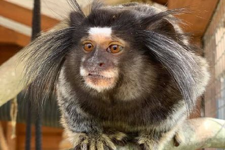 A marmoset monkey poses for the camera. EMN-190826-102928001