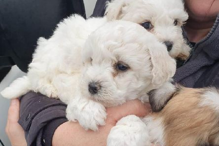 Puppies rescued by police in Mid Ulster following a proactive operation in the Coalisland area