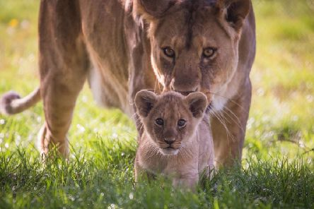 Adorable African lion cubs born at Woburn Safari Park near Milton Keynes and Bedford