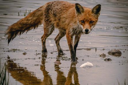 Phil Crowe captured the fox staring directly at the camera while his reflection is seen in the water