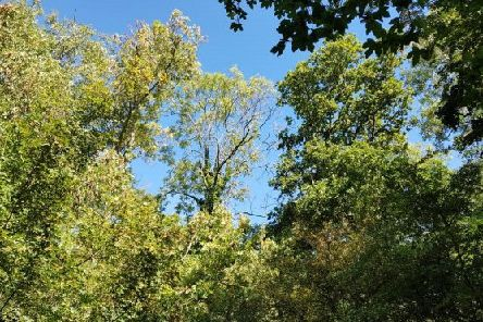 Thinning ash crowns with extensive dieback