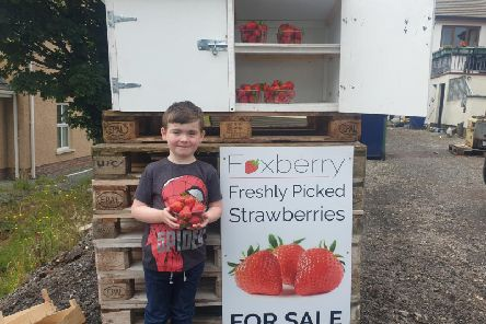 Cadain Fox helps out at the family's strawberry farm