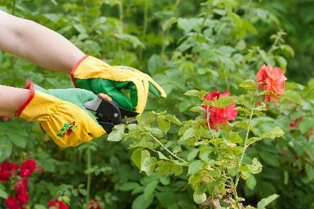 Don't be afraid to go to town with the secateurs, says Brian. Picture: Shutterstock
