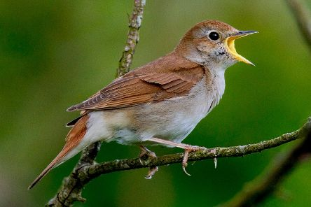 The nightingale bird is one of those included in the song. Picture: Supplied