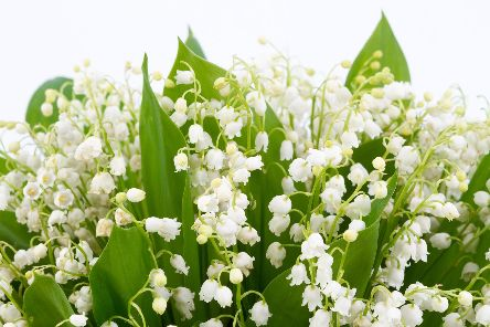 Brian has a great method to get the best out of your lily of the valley plant.