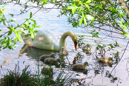 The swans were eventually moved off the railway line
