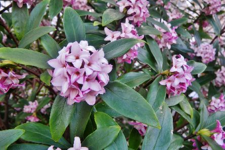 Daphne odora - now's a good time to take cuttings. Picture: Shutterstock