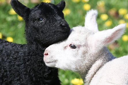 Two of the newborn lambs