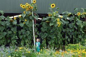 Jaxson Gilliland, from Gleno, had the borough's tallest sunflower.