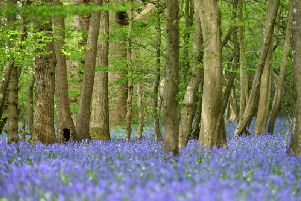 Arlington bluebell woods Picture: Peter Cripps