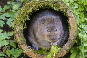 The Peoples Trust for Endangered Species are looking for volunteers to help take part in this year's national survey on water voles.