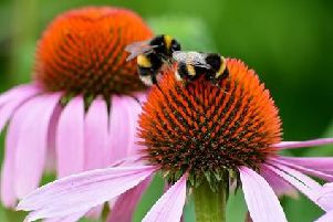 Buff-tailed bumblebee males