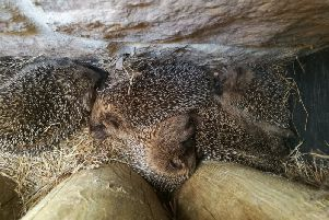 This family of hedgehogs was discovered snuggled up behind a bike rack at one of the lodges in Center Parcs Woburn Forest