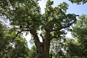 A king oak in the grounds of Blenheim Palace. Photo: Blenheim Palace
