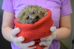 Becky Morley of Shepreth Hedgehog Hospital gives hedgehogs a bath before being released at Center Parcs Woburn Forest last week.