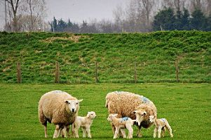 Lambs just arrived at camber fields. Rye SUS-190404-145234001