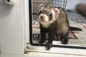 Kings Lodge staff were left shocked on Monday afternoon when a ferret was found strolling around.