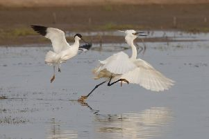 An avocet attacking an egret. Picture: Neil Smith