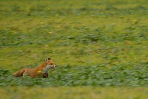 Thames Valley Police are investigating ANOTHER report of illegal fox hunting, this time in Long Crendon. (Stock image)