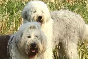 Steve's two Old English Sheepdogs which were attacked