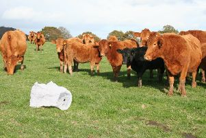 Chinese water lantern watched by cattle.