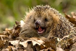 A happy hedgehog, let's help keep them this way