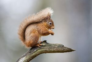 A red squirrel. Pic by Getty Images.