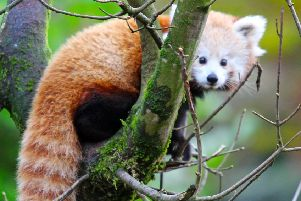 Amber the red panda that escaped from Belfast Zoo.