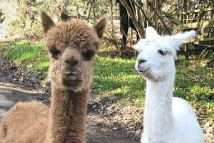 The escaped alpacas. Chichester Police