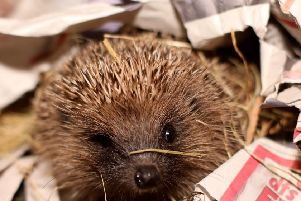 The sight of a hedgehog during the day could mean it's home has been disturbed