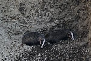 The two badgers at the bottom of the 3m-deep hole dug for a new septic tank. Photograph: Marija Bichan