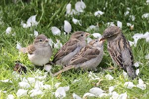 Sparrow mum feeds her fledglings. This close up was taken by David Ford. SUS-190515-154503001