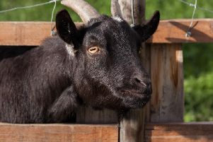 Library image of a goat - this is not a photograph of the stolen goat.