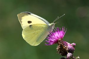 Large white (Picture: Mark Searle)