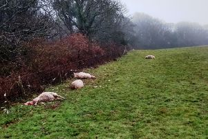 A dozen sheep were killed in a dog attack at Hastings Country Park. Picture supplied by Hastings Borough Council