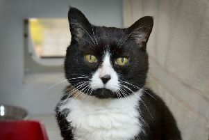 Cats needing homes at RSPCA Bluebell Ridge in Hastings.''Cheddar SUS-190320-121010001