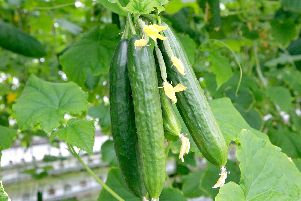 Fabulous cucumbers, but they come at a price if you grow them from seed. Picture: Shutterstock
